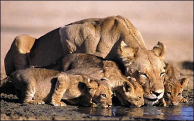Mara lioness and cubs.jpg